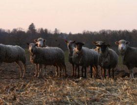 Les agneaux de la ferme Clavisy