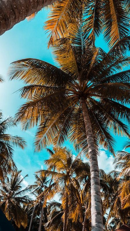 caraibes-palmiers
